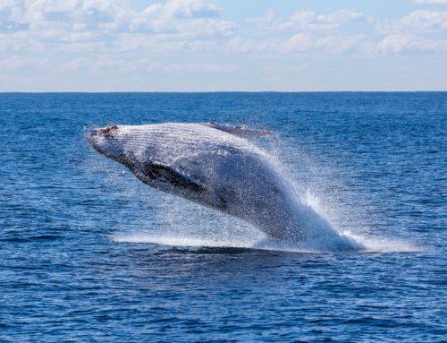 Widzieliście Wieloryba?